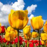 Интересные факты о тюльпанах