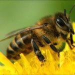 Интересные факты о пчелах и осах