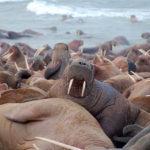 Где живут моржи (места обитания) ?
