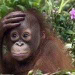 Интересные факты о обезьянах
