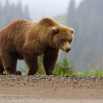 Где живут медведи(места обитания) ?
