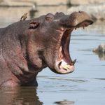 Где живут бегемоты(места обитания) ?