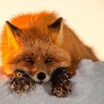 Где живут лисы (места обитания) ?