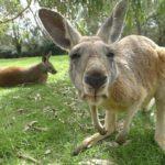 Где живут кенгуру(места обитания) ?