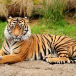 Где живут тигры (места обитания) ?