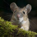 Где живут мыши (места обитания) ?