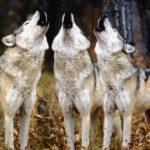 Где живут волки(места обитания) ?