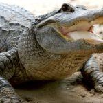 Интересные факты об аллигаторах