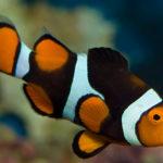 Рыбы-клоуны — Интересные факты