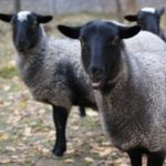 Интересные факты о овцах