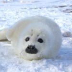 Интересные факты о тюленях