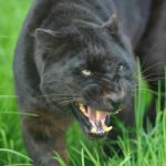 Интересные факты о пантерах