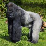 Интересные факты о гориллах