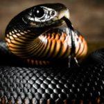Интересные факты о ядовитых змеях