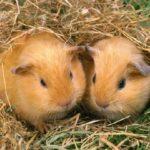 Где живут морские свинки (места обитания) ?