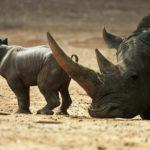Интересные факты о носороге