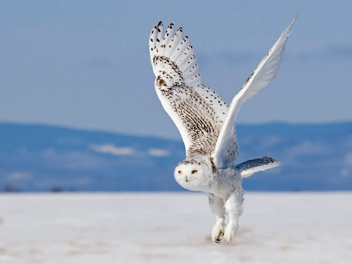 сова полярная белая фото