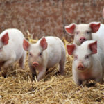 Где живут свиньи (места обитания) ?