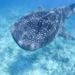 Где живут китовые акулы (места обитания) ?