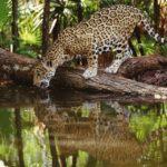 Интересные факты о ягуарах