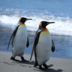 Сколько живут пингвины ?