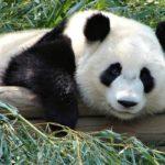 Сколько живут панды ?