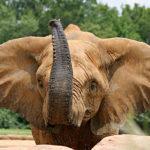 Сколько живут слоны ?