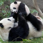 Что едят панды ?