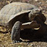Где живут пустынные черепахи (места обитания) ?
