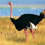 Где живут страусы (места обитания) ?