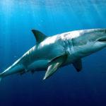 Что едят акулы ?