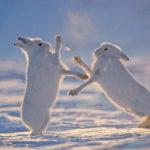 Где живет арктический беляк (места обитания) ?