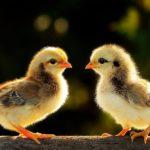 Где живут цыплята (места обитания) ?
