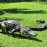 Где живут аллигаторы (места обитания) ?