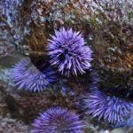 Где живут морские ежи (места обитания) ?