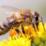 Где живут Медоносные пчелы (места обитания) ?