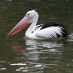 Где живут пеликаны (места обитания) ?