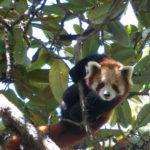 Где живут красные панды (места обитания) ?