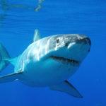 Все ли акулы едят мясо ?