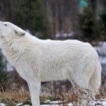 Где живет Полярный волк (места обитания) ?