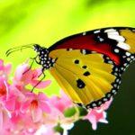 Сколько живут бабочки ?