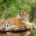Где живут бенгальские тигры (места обитания) ?