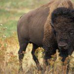 Где живут бизоны (места обитания) ?