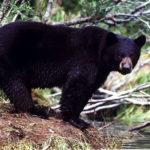 Где живут черные медведи (места обитания) ?