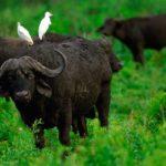 Где живут буйволы (места обитания) ?