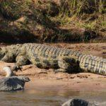 Где живут крокодилы (места обитания) ?