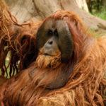 Где живут орангутаны (места обитания) ?
