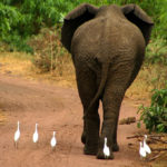 Что едят африканские слоны ?