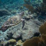 Где живут морские черепахи (места обитания) ?