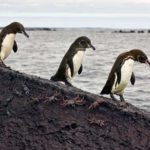 Где живут галапагосские пингвины (места обитания) ?